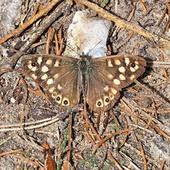 Just soaking up the sun (singinghedgehog) Tags: 365the2018edition 3652018 day141365 21may18 project365 butterfly speckled wood pararge aegeria