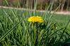 Taraxacum (Marco van Beek) Tags: holland europe beautiful world nikon d5000 afs dx nikkor 18200mm f3556g ed vr ii taraxacum green yellow nature flower