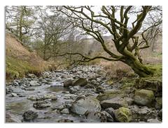 River Tree (johnhjic) Tags: johnhjic nikon nikond850 d850 19mm hasselblad x1d cumbria lakedistrict landscape lake lakes water old green greens brown gray yellow
