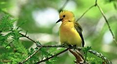 Prothonotary Warbler (Suzanham) Tags: prothonotarywarbler bird songbird cypress tree nature wildlife yellow protonotariacitrea swamp cypressswamp noxubeewildliferefuge mississippi
