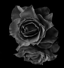 Reflecting On A Red Rose In Black And White (Bill Gracey 22 Million Views) Tags: reflection mirror homestudio tabletopphotography red rose blackandwhite blancoynegro noiretblanc silverefexpro offcameraflash yongnuo yongnuorf603n shapes contrast textures filllight softbox bw