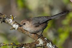 Clarke_180422_6838.jpg (www.raincoastphoto.com) Tags: birds psaltriparusminimus birdsofbritishcolumbia birdsofnorthamerica bushtits sparrows birdsofcanada britishcolumbia canada