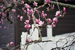 On the way to Oz (Jetcraftsofa) Tags: nikonf3 nikkor18028ai pro400h 35mm slr filmphotography oz magnolia flowers hana haru spring bokeh