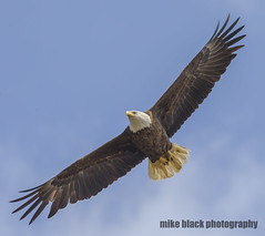 126ff (Mike Black photography) Tags: bald eagle bird nature birding new jersey shore raptor belmar mike black canon 5ds 800mm 400mm 1dx white eaglet nest sky usm l is lens body trees talons beak feathers