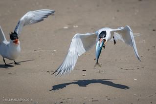 Elegant Tern Fish Exchange
