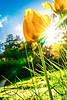Crazy colors (Sony_Fan) Tags: tulips crazy colors yellow green star sun sunstar spring april 2018 nature outdoor garden sigma 30mm 14 sony alpha 6000 blue sky gras f16 flickr thomas umbach schwelm natur photographer northrhinewestphalia nrw germany inspiration extrem flower light sunlight adobe lightroom cc sonyfan
