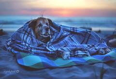 17/52 - beach life (yookyland) Tags: 52weeksfordogs 2018 misty 1752 senior dog beach sunset blue hour oregon coast