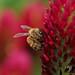 Western honey bee (セイヨウミツバチ) in crimson clover (ベニバナツメクサ)
