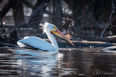 20180428-_DSC4151.jpg (GrandView Virtual, LLC - Bill Pohlmann) Tags: stillwatermn spring wildlife border nature bird americanwhitepelican stcroixboomsite minnesota stcroixriver kayaking