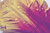 tulip art (mariola aga) Tags: plant flower tulip petal water waterdrops drops macro closeup abstract art filter
