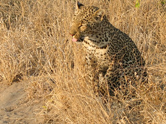 Young female Leopard alongside the road, blending in with the grasses (Ken Zaremba) Tags: africa africanleopard felidae geography greaterkrugernationalpark krugernationalpark leopard malamalagamereserve malamalagamecamp pantheraparduspardus pantherepardus southafrica animal bigcats carnivores mammals