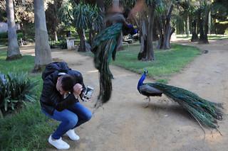 Peacocks Fight, eyewitnessing