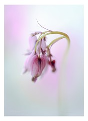 *** Dancing hearts *** (Krasne oci) Tags: fritillary macro flowerart flowers closeup evabartos artphotography photographicart nature soft pastel pink garden holticulture love romance