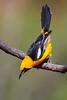 Hooded Oriole (Eric Gofreed) Tags: arizona hoodedoriole mybackyard oriloe sedona villageofoakcreek yavapaicounty