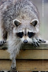 Portrait of Masked Bandit (Jamie Hedworth) Tags: raccoon wildlife animal ontario canada jamiehedworthphotography sonydslra390