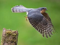 Just leaving! (coopsphotomad) Tags: sparrowhawk bird wildlife nature flight blue grey green post wings leaving eye predator native wild british scotland bokeh