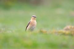 Inquisitive Wheatear (www.andystuthridgenatureimages.co.uk) Tags: wheatear female thrush ground eyelevel inquisitive watching dartmoor moorland devon uk