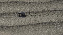 Dune Buggy (courtney_meier) Tags: california deathvalley deathvalleynationalpark mesquitedunes nationalpark usnationalpark beetle desert dunes insect sand sanddunes tracks stovepipewells unitedstates us weevil desertwashweevil