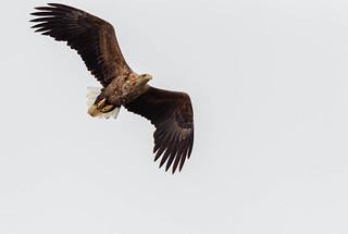 Birding at Hornøya.