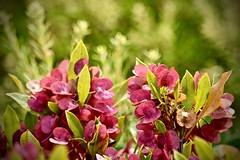 Mount Kilauea in Quieter Times:  Plants at the Rim (Ginger H Robinson) Tags: mount kilauea volcano rim heat steam tropical bigisland hawaii flower plant flora