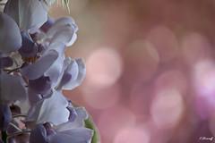 Ombre et lumière- GLYCINE (FLOCVROFF) Tags: odeur pastel bokeh chivaroff mauve parme douceur mai spring 50mm 250mm proxi lumiere bokehlicious smileonsaturday catchthebokeh