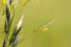 Gras, das sein Fähnchen nach dem Wind hält ;-) (Vitatrix) Tags: gras blüte gelb frühling natur nature pflanze bokeh badenwürttemberg