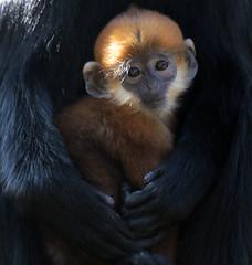 francoislangur Blijdorp BB2A6025 (j.a.kok) Tags: aap monkey mammal zoogdier dier blijdorp langoer langur francoislangoer francoislangur moederenkind motherandchild