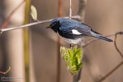 Paruline bleue / Black-throated Blue Warbler (Pierre Lemieux) Tags: parulinebleue blackthroatedbluewarbler domainemaizerets québec canada ca