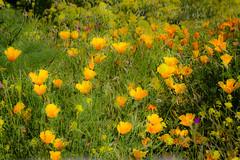 Explosión de amarillos (1 de 1) (CarmenA.Ruano) Tags: flower plant spring green tree forest yelow silvestres wild