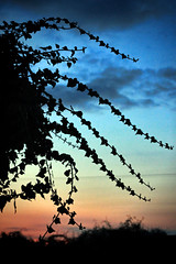 Sunset And Ivy (JonCoupland) Tags: jon coupland photography boston lincolnshire ivy sunset fens lincs