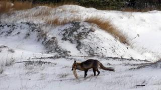 Le renard a franchi une étape
