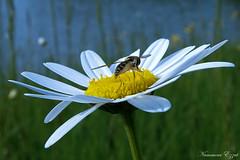 Syrphe sur paquerette (Ezzo33) Tags: france gironde nouvelleaquitaine bordeaux ezzo33 nammour ezzat sony rx10m3 parc jardin fleur fleurs flower flowers blanche white insecte insectes specanimal paquerette syrphe mouche