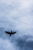 Stick Delivery (Jay:Dee) Tags: 2018topwrs toronto island cherry blossoms topw photo walks walk bird cormorant flight flying sky cloud backlit
