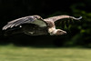 droping in (jeff.white18) Tags: griffonvulture vulture bird nature wings feathers nikon flight fly flickr