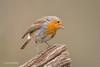 Robin - Inquisitive pose D85_2324.jpg (Mobile Lynn) Tags: birds nature robin bird fauna oscines passeri passeriformes songbird songbirds wildlife coth coth5 ngc npc