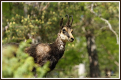 Chamois 180517-99-P (paul.vetter) Tags: rupicaprarupicapra capriné chamois bovidé gamuza gemse mountaingoat