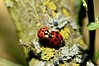 Peace and love (kiareimages1) Tags: ladybug coccinelles insetti insectes insects nature garden imagery images immagini spring summer colors macro photosmacro