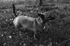 Photographing Young Dogs on Old Film (lancekingphoto) Tags: dog trixie pet animal backyard littledog minoltaxgm minoltamd50mmf17 kodaktmax400 35mm film bwfp expiredfilm xtol