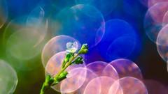 Mini Flower Triplan (YᗩSᗰIᘉᗴ HᗴᘉS +15 000 000 thx) Tags: bokeh trioplan sony sonya6000 color macro flora hensyasmine namur belgium europa aaa namuroise look photo friends be wow yasminehens interest intersting eu fr greatphotographers lanamuroise tellmeastory flickering