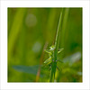 Little Spy! (dolorix) Tags: dolorix heuschreck grasshopper tier animal insect macro makro spion spy