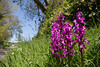 Early Purple Orchids (22384) (jonathanclark) Tags: spring nature natural wild wildflower orchid earlypurpleorchid roadside hedgerow strangfordlough countydown northernireland flower grass hedge wall tree sky
