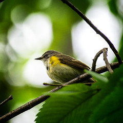 High Topper (Portraying Life, LLC) Tags: dbg6 da3004 hd14tc k1mkii michigan pentax ricoh unitedstates bird closecrop handheld nativelighting canopy warbler migrant