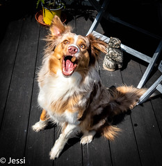 Ich krieg's, ich krieg's ich kriiiiiiiiieg's... (Felicis_Flower) Tags: pet dog animal tier leckerlie trick australianshepherd redmerle