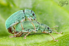 Two Green Weevils (Amanda Blom Photography) Tags: macro macrophotography macrophoto macroworld nature natuur naturepicture naturelover naturephotographer naturephoto natuurfoto naturephotography natureptohography naturelove green groen greenbackground weevil snuitkever kever kevers canon closeup insect insects insectsinlove