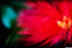 calliandra (rodrigosiejafotografia) Tags: brasil calliandra flor flower vermelho red natureza nature plant macro macrophotography sigma105mm sonya77