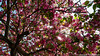 Cherry blossoms (umakantht) Tags: d700 blossoms cherry flowers tree trees spring sunstar sun plants