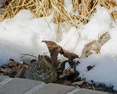 Spot the Bunny (Mark...L) Tags: bunny rabbit baby