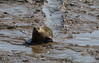 IMG_5898 cr (janharper) Tags: seals crouch roach estuaries leigh camera club