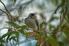 Noisy Minor feed time #1 (Beckett_1066) Tags: birds minor gumtree