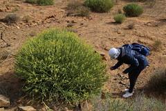 Euphorbia mauritanica (Euphorbiaceae) (yakovlev.alexey) Tags: euphorbiaceae enjonaturefarm southafrica cederberg